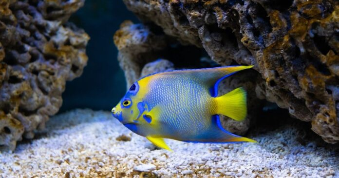 Types of Angelfish You Should Know About