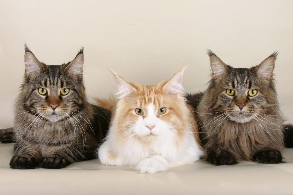 best cat breeds for first-time cat owners
