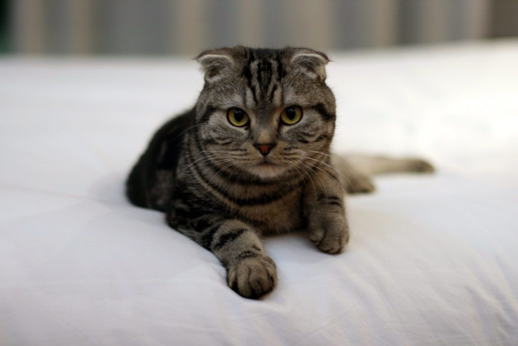 Scottish Fold Cat for first-time cat owners