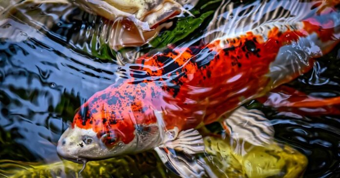 All about Japanese KOI fish: facts and history from petly