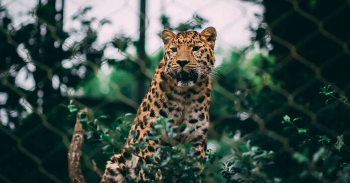 protect Jaguars in the United States