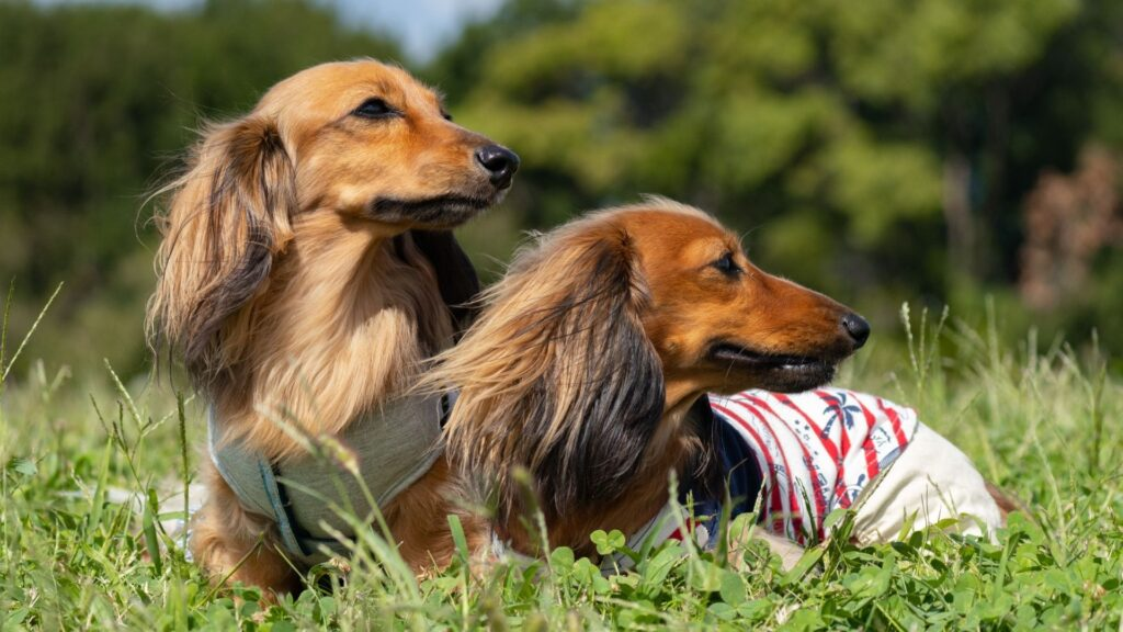 how to groom a wire-haired Dachshund dog breed