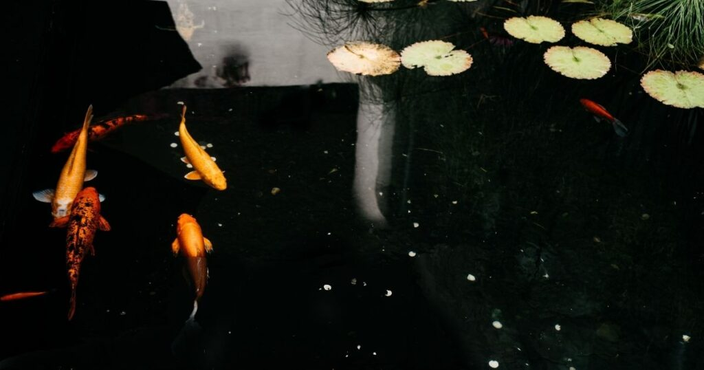 Simple Koi pond Maintaining Tips for you
