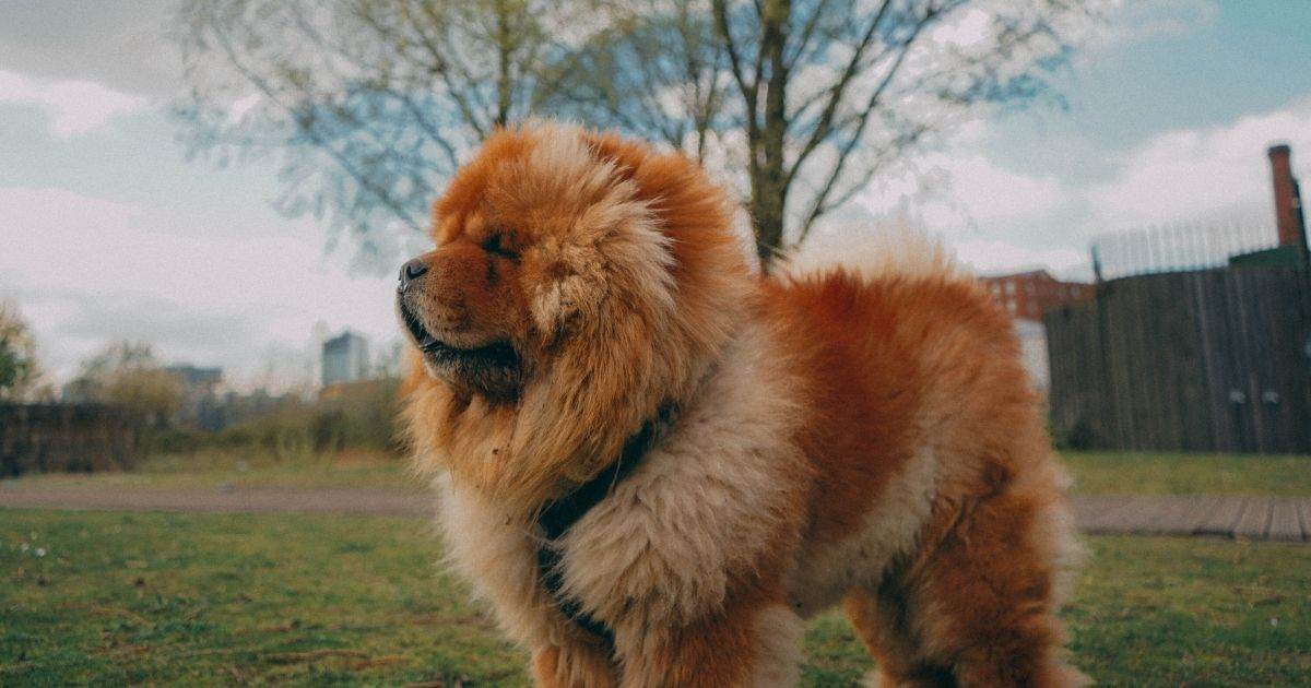 Chow Chow expensive dog breed