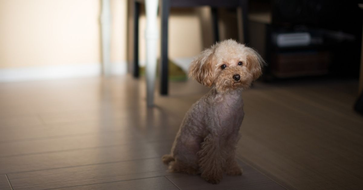 Tips to make your Toy Poodle Smart