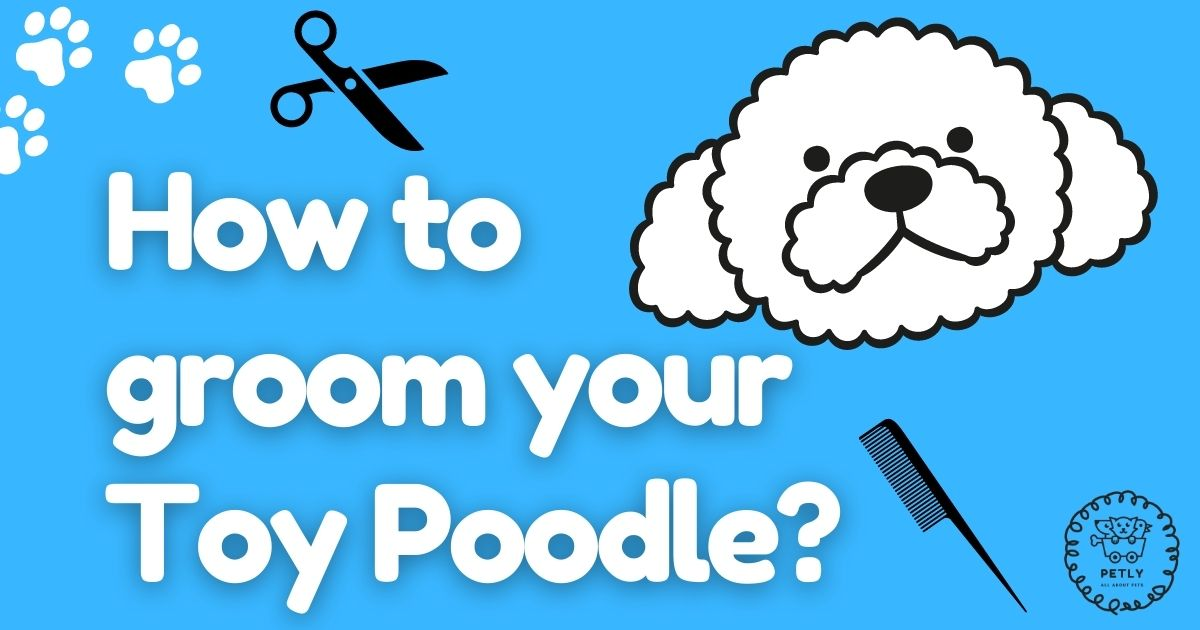 How to groom your toy poodle?