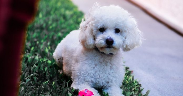 Tips for poodle owners