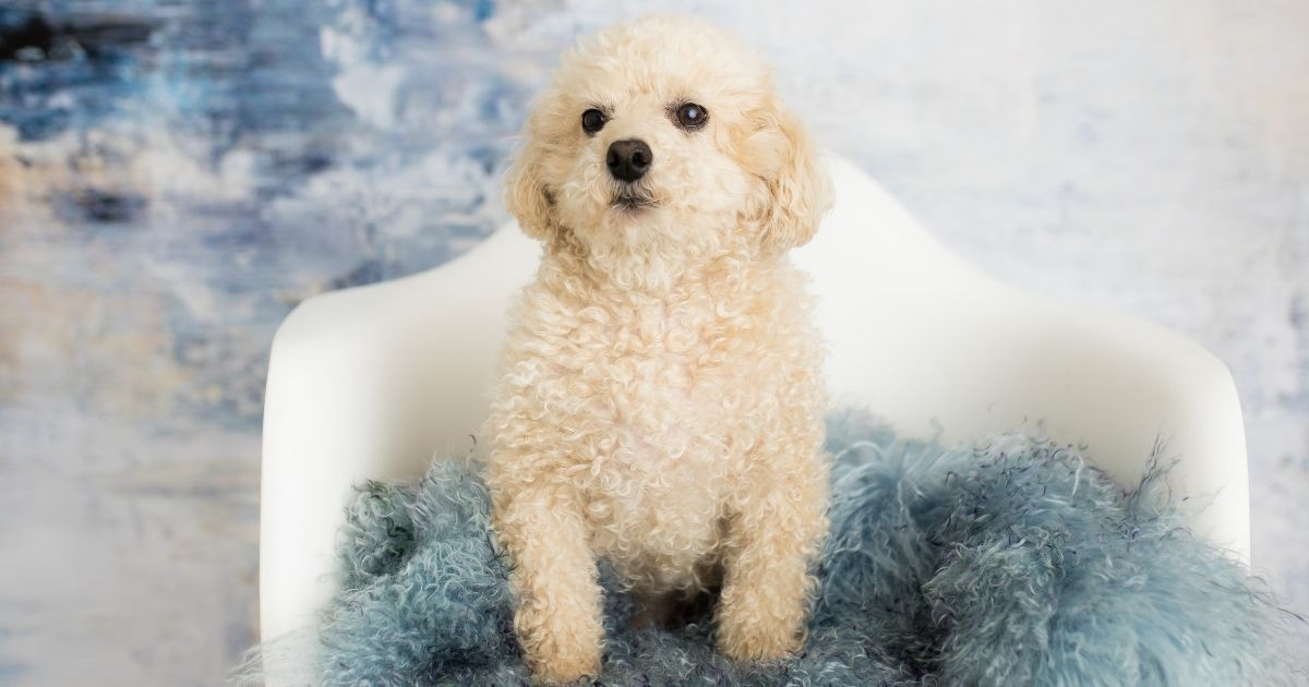 All about the cute Toy poodle breed