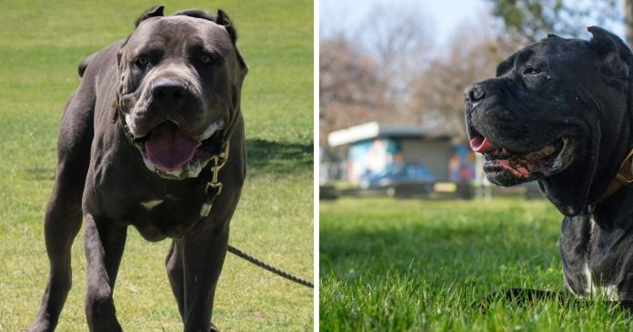 All About Cane Corso